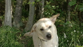 Ένα άσπρο retriever του Λαμπραντόρ σκυλί που πίνει λίγο νερό την οδύσσεια FS700 7Q 4K απόθεμα βίντεο