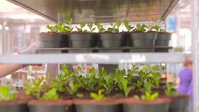 Ένα άτομο εργάζεται σε ένα θερμοκήπιο με τα λουλούδια, δοχεία λουλουδιών, εργασία σε ένα θερμοκήπιο, ροή της δουλειάς σε ένα θερμ απόθεμα βίντεο