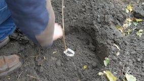 Ένα άτομο που φυτεύει ένα δέντρο φουντουκιών απόθεμα βίντεο
