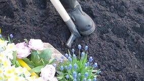 Ένα άτομο σκάβει το έδαφος με ένα φτυάρι μια ημέρα άνοιξη στον κήπο απόθεμα βίντεο