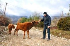 Ένα άτομο ταΐζει μια αγελάδα με μια φλούδα μπανανών Στοκ Εικόνα