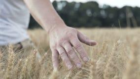 Ένα άτομο τρέχει το χέρι του κατά μήκος των χρυσών αυτιών του σίτου απόθεμα βίντεο