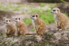 2 ένα άλλα μωρά που είναι οικογενειακό meerkat μέλος γενιών που προσέχουν Στοκ φωτογραφία με δικαίωμα ελεύθερης χρήσης