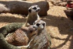 2 ένα άλλα μωρά που είναι οικογενειακό meerkat μέλος γενιών που προσέχουν Στοκ Φωτογραφίες