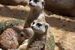 2 ένα άλλα μωρά που είναι οικογενειακό meerkat μέλος γενιών που προσέχουν Στοκ Φωτογραφία