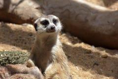 2 ένα άλλα μωρά που είναι οικογενειακό meerkat μέλος γενιών που προσέχουν Στοκ εικόνες με δικαίωμα ελεύθερης χρήσης
