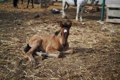Ένα άλογο βόσκει σε ένα αγρόκτημα, καλλιέργεια, ζωικό κεφάλαιο, foal στοκ φωτογραφίες με δικαίωμα ελεύθερης χρήσης