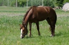 Ένα άλογο βόσκει Στοκ φωτογραφία με δικαίωμα ελεύθερης χρήσης