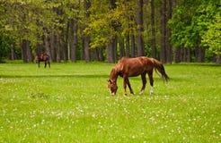 Ένα άλογο κάστανων που τρώει τη χλόη Στοκ Εικόνα
