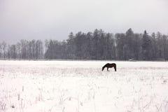 Ένα άλογο σε έναν χιονώδη τομέα Στοκ εικόνα με δικαίωμα ελεύθερης χρήσης