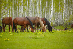 Ένα άλογο σε ένα δασικό ξέφωτο Μια φωτεινή θερινή φωτογραφία Η φύση του χωριού, στοκ εικόνα