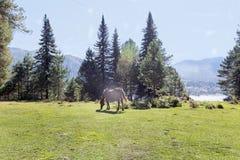 Ένα άλογο τρώει την πράσινη juicy χλόη στον τομέα στις ακτίνες στοκ εικόνα