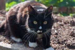 Ένα ένοχο πράγμα έκπληκτο - γάτα σμόκιν Στοκ Εικόνες