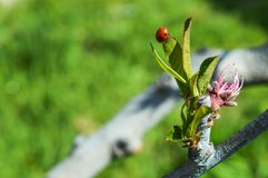 Ένα έντομο ενός ladybug κάθεται στην ίδια την άκρη ενός πράσινου φύλλου Στοκ φωτογραφία με δικαίωμα ελεύθερης χρήσης