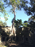Ένα δέντρο αναρρίχησης στο TA Prohm, Angkor, Καμπότζη Στοκ φωτογραφία με δικαίωμα ελεύθερης χρήσης