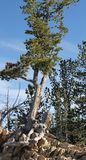 Ένα δέντρο αυξάνεται από τους βράχους Στοκ εικόνες με δικαίωμα ελεύθερης χρήσης