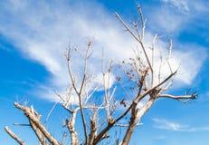 Ένα δέντρο δεν έχει κανένα φύλλο κάτω από τον έξοχο μπλε ουρανό Στοκ Φωτογραφίες