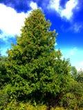 Ένα δέντρο κέδρων Στοκ Φωτογραφίες