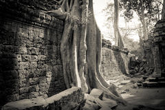 Ένα δέντρο και ένας τοίχος Angkor Wat, Siem συγκεντρώνουν, Καμπότζη Στοκ εικόνες με δικαίωμα ελεύθερης χρήσης