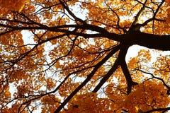 Ένα δέντρο με κίτρινο και το πορτοκάλι αφήνει βλέποντας από κάτω από Στοκ φωτογραφία με δικαίωμα ελεύθερης χρήσης
