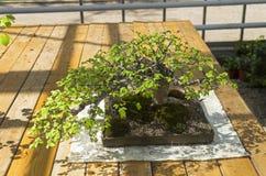 Ένα δέντρο μπονσάι Στοκ φωτογραφία με δικαίωμα ελεύθερης χρήσης