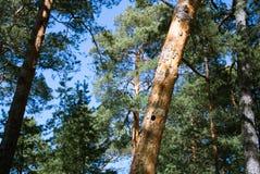 Ένα δέντρο πεύκων με μια κοιλότητα στον κορμό, ένα δάσος πεύκων στην ακτή της θάλασσας της Βαλτικής κοντά στη Αγία Πετρούπολη Στοκ εικόνες με δικαίωμα ελεύθερης χρήσης