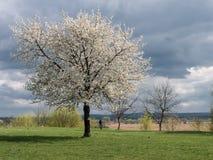 Ένα δέντρο στα άσπρα λουλούδια Στοκ φωτογραφία με δικαίωμα ελεύθερης χρήσης