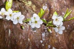 Ένα δέντρο στην άνθιση, άνοιξη έφθασε Στοκ εικόνες με δικαίωμα ελεύθερης χρήσης