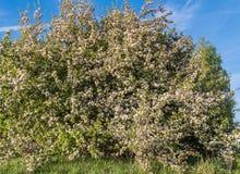 Ένα δέντρο της Apple, που ανθίζει ενάντια στο μπλε ουρανό Στοκ Εικόνες