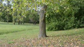 Ένα δέντρο το φθινόπωρο απόθεμα βίντεο