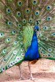 Ένα έξυπνο αρσενικό peacok που επιδεικνύει τα φτερά του στοκ φωτογραφία