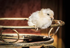 Ένα λίγο κοτόπουλο Στοκ φωτογραφία με δικαίωμα ελεύθερης χρήσης