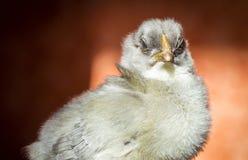 Ένα λίγο κοτόπουλο Στοκ Εικόνες