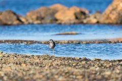 Ένα λίγο πουλί αυλητών άμμου που προμηθεύει με ζωοτροφές για τα τρόφιμα κατά μήκος της ακροθαλασσιάς Στοκ Εικόνες