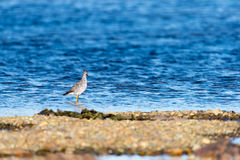 Ένα λίγο πουλί αυλητών άμμου που προμηθεύει με ζωοτροφές για τα τρόφιμα κατά μήκος της ακροθαλασσιάς Στοκ φωτογραφία με δικαίωμα ελεύθερης χρήσης