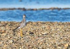 Ένα λίγο πουλί αυλητών άμμου που προμηθεύει με ζωοτροφές για τα τρόφιμα κατά μήκος της ακροθαλασσιάς Στοκ φωτογραφίες με δικαίωμα ελεύθερης χρήσης