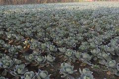 Ένα αγρόκτημα λάχανων Στοκ Εικόνες