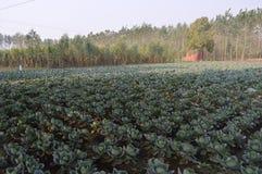 Ένα αγρόκτημα λάχανων Στοκ φωτογραφία με δικαίωμα ελεύθερης χρήσης