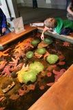 Ένα αγόρι ανακαλύπτει anemones και αστερίας Στοκ Φωτογραφία