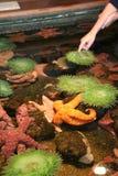 Ένα αγόρι ανακαλύπτει anemones και αστερίας Στοκ φωτογραφία με δικαίωμα ελεύθερης χρήσης