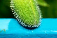 Ένα ακανθωτό λουλούδι όπως ένα αγγούρι, βρίσκεται σε έναν μπλε φράκτη Μακροεντολή Στοκ Φωτογραφία