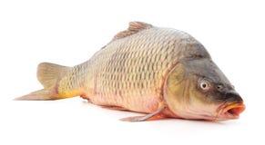 Ένα ακατέργαστο ψάρι Στοκ Φωτογραφίες