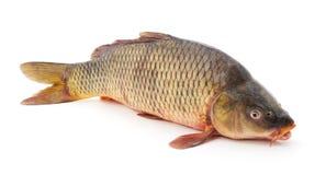 Ένα ακατέργαστο ψάρι Στοκ Εικόνα