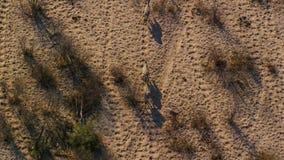 Ένα ακουσμένο για Zebras διασχίζει τη σαβάνα όπως βλέπει από την εναέρια άποψη στοκ εικόνες