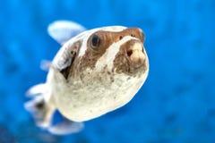 Ένα ακτίνα-?????????? ψάρι θάλασσας είναι καλυμμένος καπνιστής, κινηματογράφηση σε πρώτο πλάνο στοκ φωτογραφίες με δικαίωμα ελεύθερης χρήσης