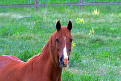 Ένα αμερικανικό άλογο τετάρτων Στοκ Φωτογραφία
