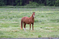 Ένα αμερικανικό άλογο τετάρτων Στοκ εικόνα με δικαίωμα ελεύθερης χρήσης
