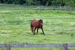 Ένα αμερικανικό άλογο τετάρτων Στοκ Εικόνες