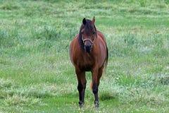 Ένα αμερικανικό άλογο τετάρτων Στοκ Εικόνα
