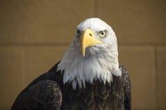 Ένα αμερικανικό φαλακρό μπροστινό πορτρέτο αετών Στοκ φωτογραφία με δικαίωμα ελεύθερης χρήσης